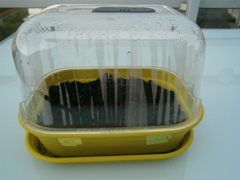 Le tabac comme bioindicateur d'ozone P6260012