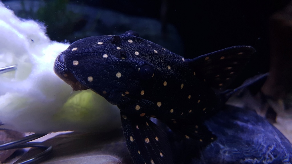 Panaqolus albomaculatus (Kanazawa, 1958) - LDA031, Mustard Spot Pleco - Página 2 20170621