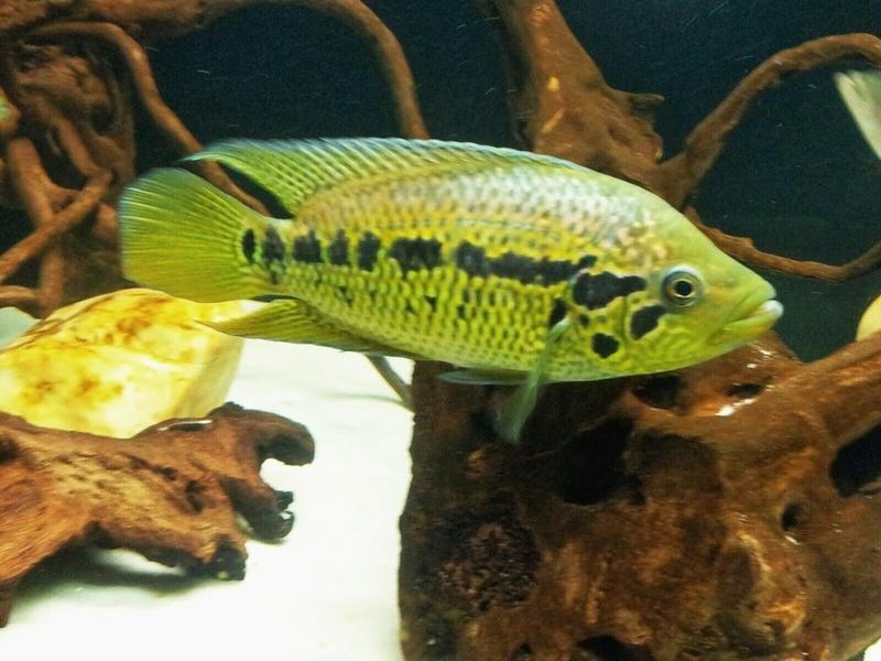 Parachromis loisellei (Bussing, 1989) _2015010