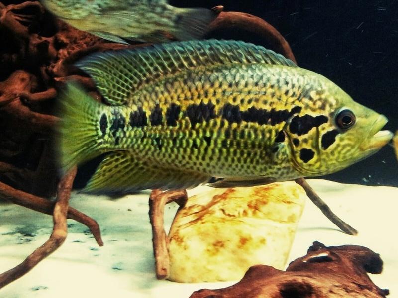 Parachromis loisellei (Bussing, 1989) _2015011