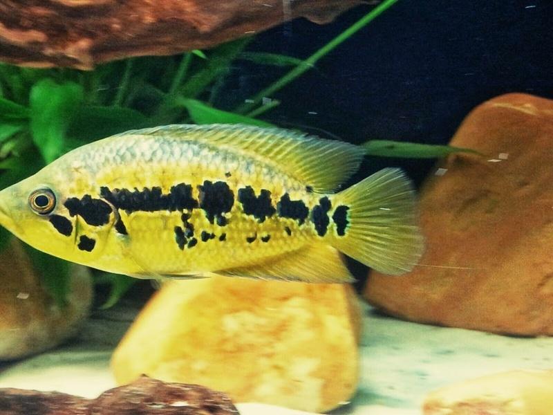 Parachromis loisellei (Bussing, 1989) _2015012