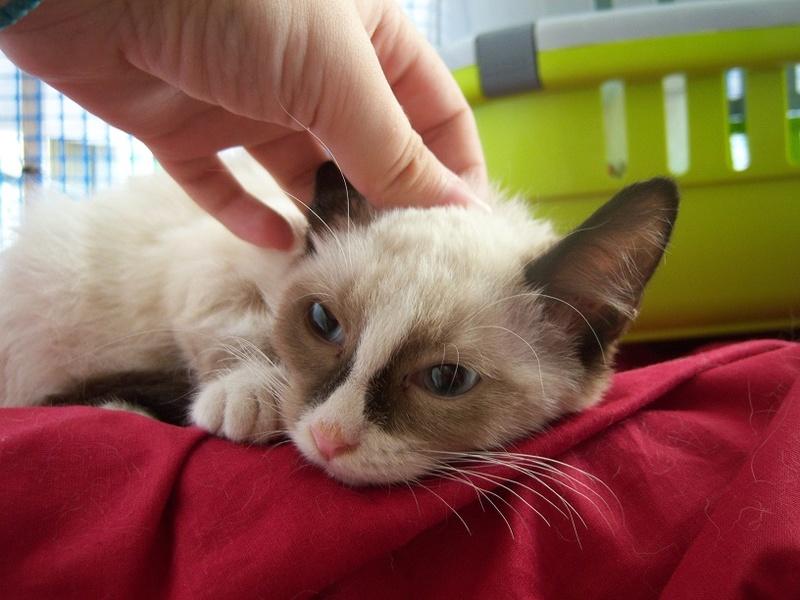 (Υιοθετήθηκε!) Ένα ...Πάντα στις μικρές αγγελίες! (Γαλανομάτικο γατόνι αναζητά αγάπη) 118_7615