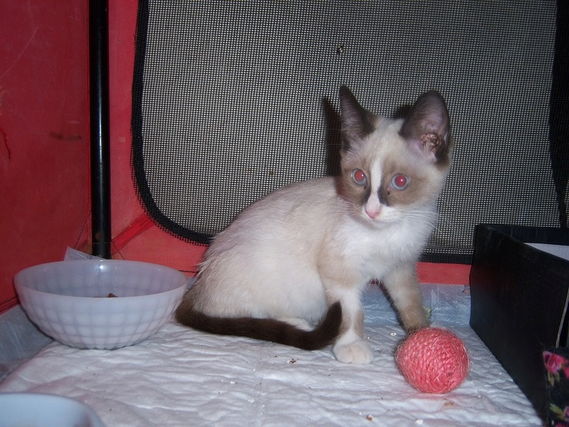 (Υιοθετήθηκε!) Ένα ...Πάντα στις μικρές αγγελίες! (Γαλανομάτικο γατόνι αναζητά αγάπη) 118_7711