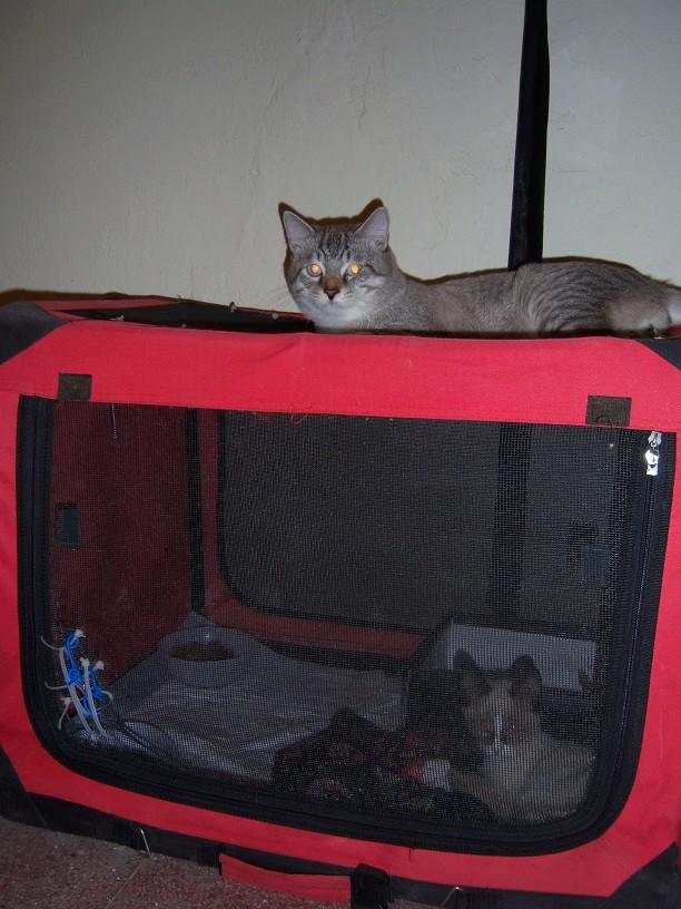 (Υιοθετήθηκε!) Ένα ...Πάντα στις μικρές αγγελίες! (Γαλανομάτικο γατόνι αναζητά αγάπη) 118_7712