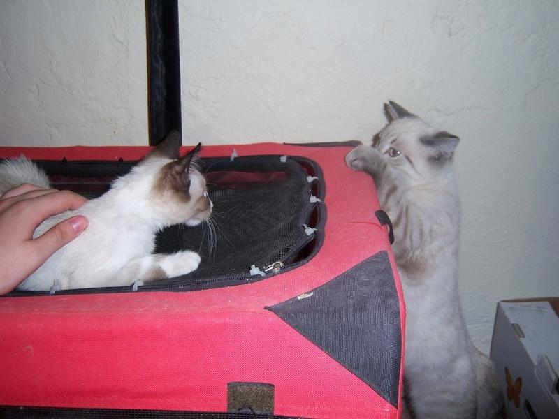 (Υιοθετήθηκε!) Ένα ...Πάντα στις μικρές αγγελίες! (Γαλανομάτικο γατόνι αναζητά αγάπη) 118_7713