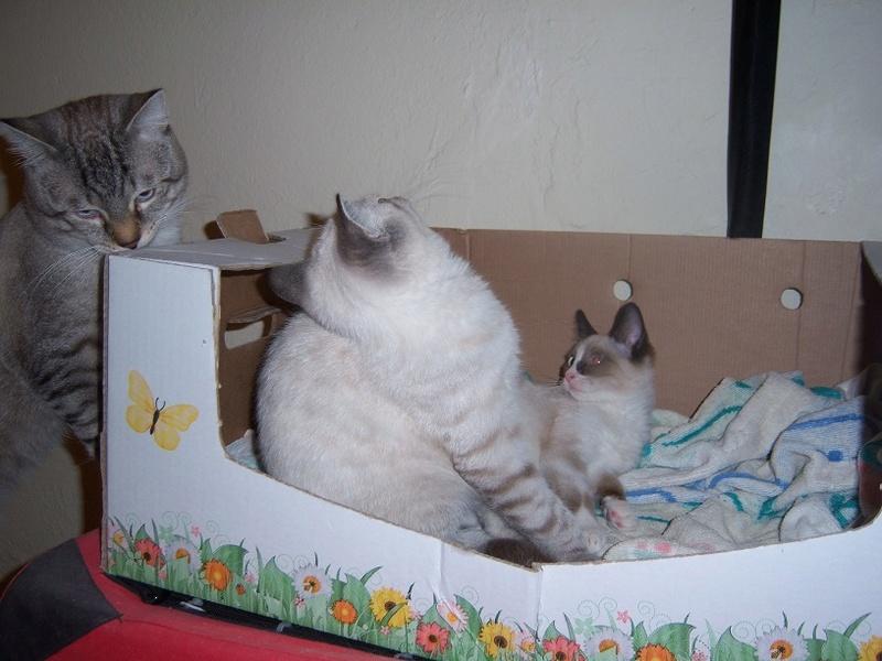 (Υιοθετήθηκε!) Ένα ...Πάντα στις μικρές αγγελίες! (Γαλανομάτικο γατόνι αναζητά αγάπη) 118_7716