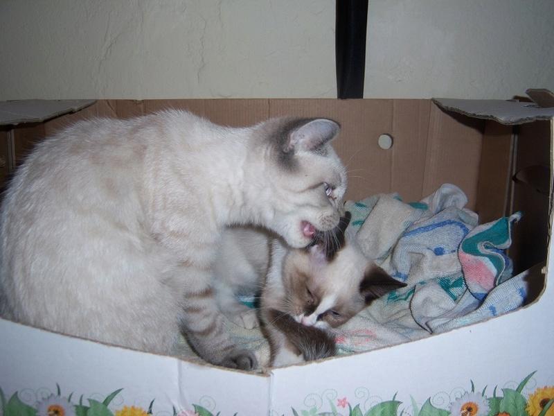 (Υιοθετήθηκε!) Ένα ...Πάντα στις μικρές αγγελίες! (Γαλανομάτικο γατόνι αναζητά αγάπη) 118_7717
