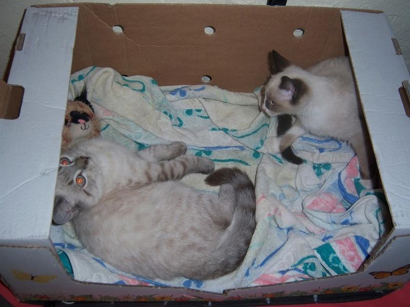 (Υιοθετήθηκε!) Ένα ...Πάντα στις μικρές αγγελίες! (Γαλανομάτικο γατόνι αναζητά αγάπη) 118_7718