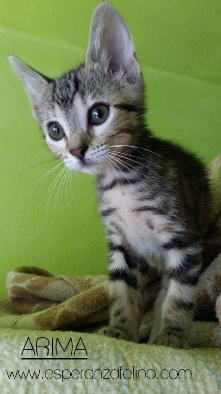 Arima, una gata terremoto en adopción. (FN.24/04/2017) Álava ¡Adoptada! 20170610