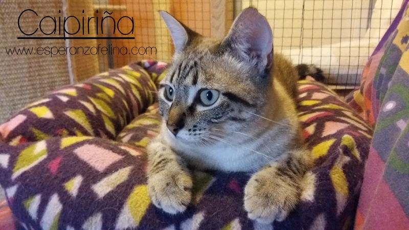 Caipiriña, preciosa peludina busca hogar, Alava (FN:12/05/16) ¡Adoptada! 20170710