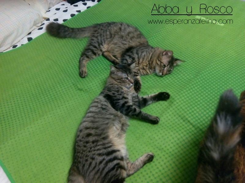Abba y Rosco, hermanos peluchones en adopción (Fecha nac aprox: 09/16) ¡ADOPTADOS! 8d99b110
