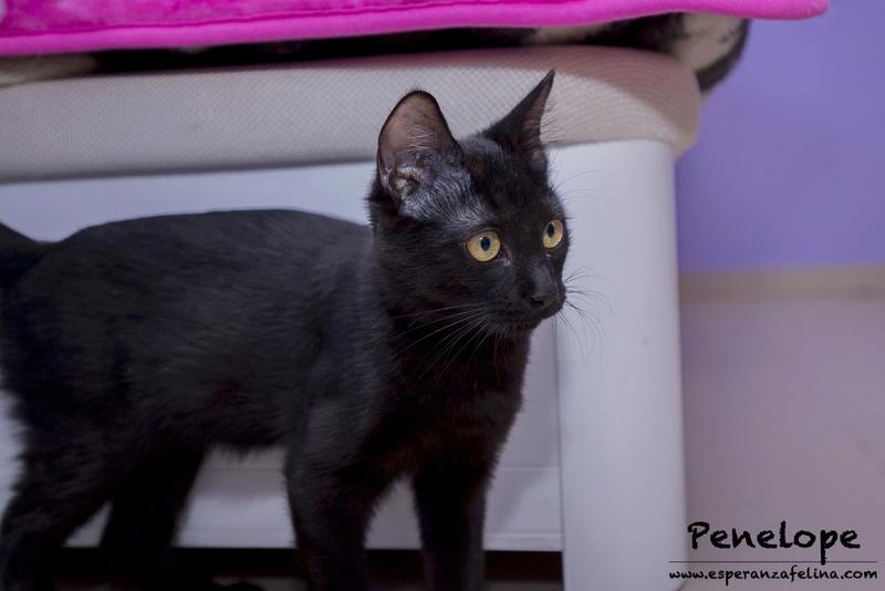Penelope Glamour, preciosa gatita color azabache en adopción, Alava (Fecha nac, aprox:20/04/17) _mg_0511
