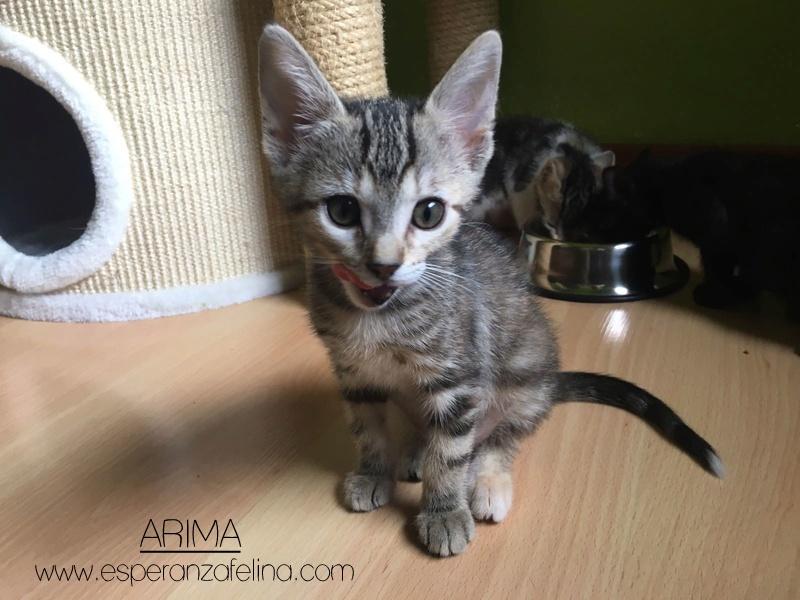 Arima, una gata terremoto en adopción. (FN.24/04/2017) Álava ¡Adoptada! Ae883d10