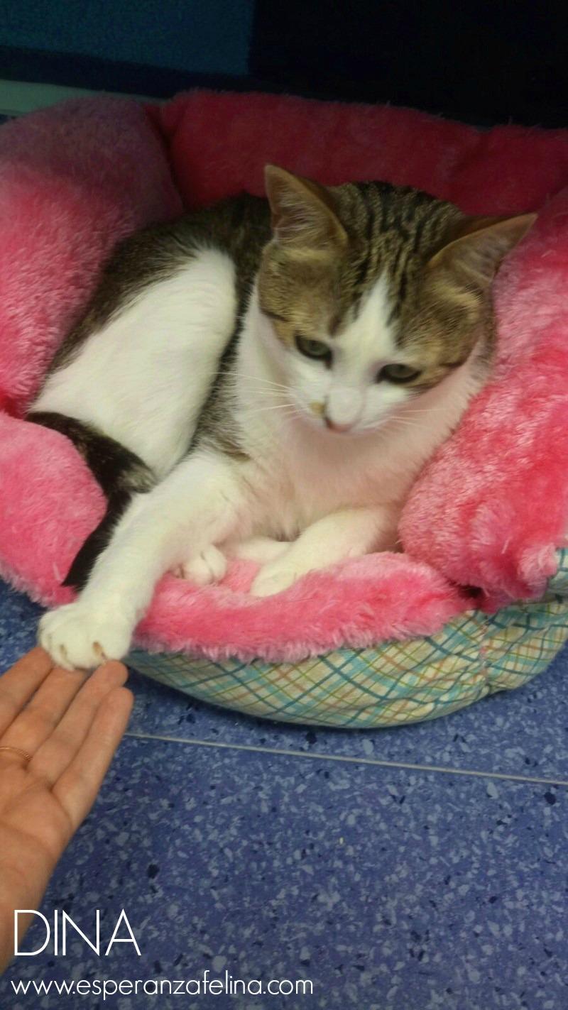 Dina, preciosa gata busca su hogar (Álava, fecha de nacimiento aproximada 10/04/2014 ) Dina_p10
