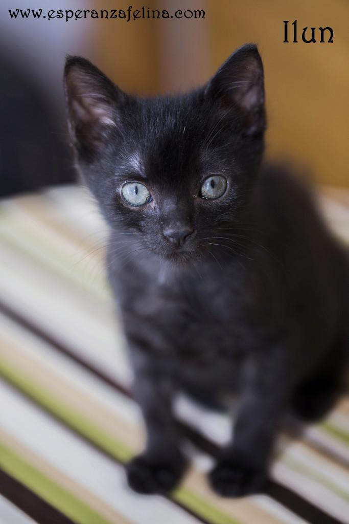 Ilun, adorable panterito en adopción. Álava (Fecha nacimiento: 05-04-17) ¡Adoptado! Ilun210