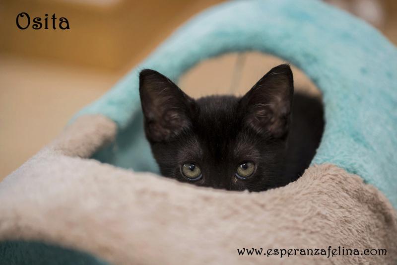 Osita, preciosa pantera en adopción. Álava (Fecha nacimiento: 05-04-17) ¡Adoptada! Osita211