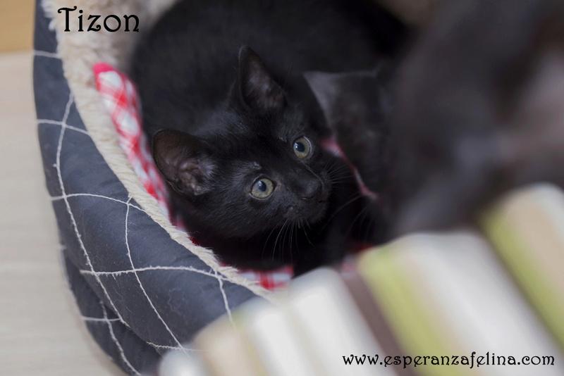Tizon, precioso panterito en adopción. Álava (Fecha nacimiento: 05-04-17) ¡Adoptado! Tizon10