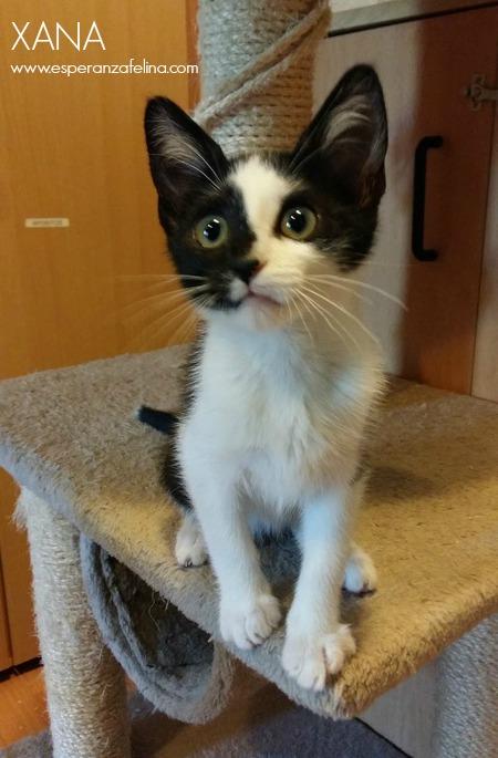 Xana, preciosa gatita enmascarada busca casa (Álava, FECHA DE NACIMIENTO APROX: 25/05/17) Xana_r10