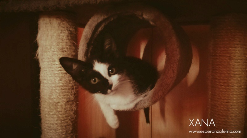 Xana, preciosa gatita enmascarada busca casa (Álava, FECHA DE NACIMIENTO APROX: 25/05/17) Xana_t10