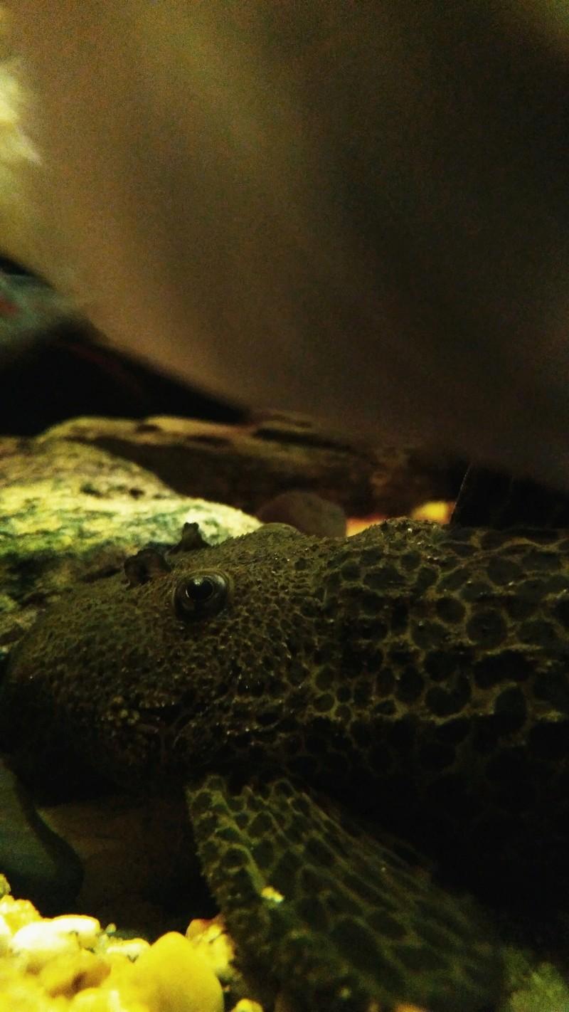 Pseudacanthicus leopardus  (Fowler, 1914) LDA073 L600 - Página 3 Img_2013