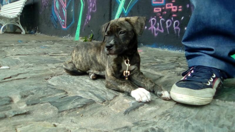 Cachorra de dos meses busca hogar Perrit10