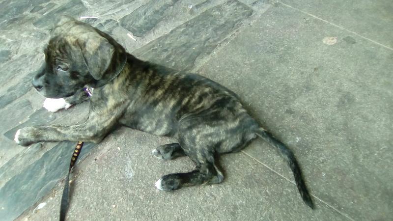 Cachorra de dos meses busca hogar Perrit12