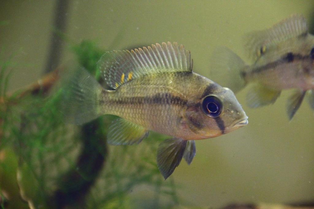 Heterochromis multidens  (Pellegrin, 1900) Img-2068