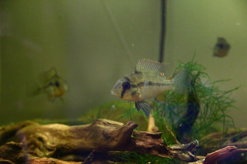 Heterochromis multidens  (Pellegrin, 1900) Img-2069