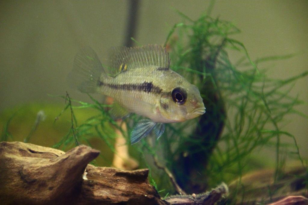 Heterochromis multidens  (Pellegrin, 1900) Img-2070