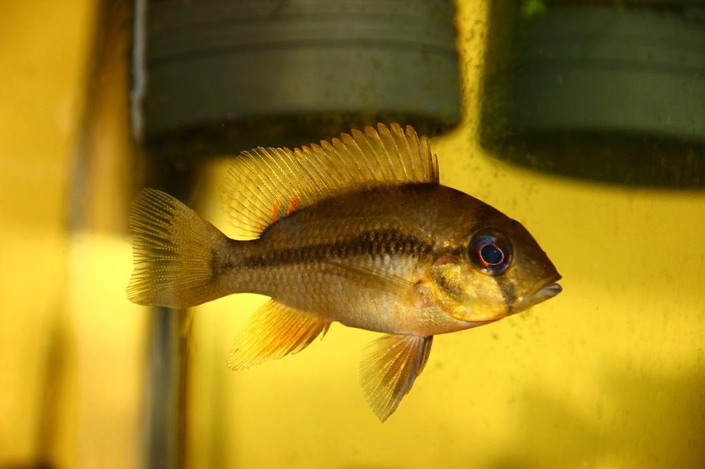 Heterochromis multidens  (Pellegrin, 1900) Img-2071