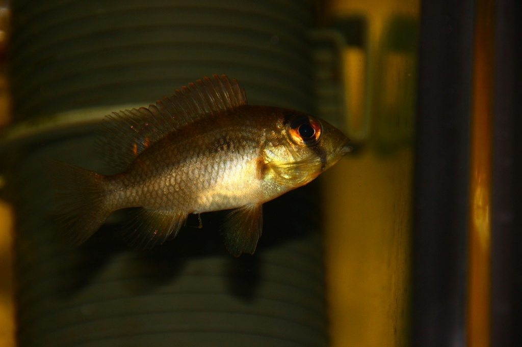 Heterochromis multidens  (Pellegrin, 1900) Img-2072