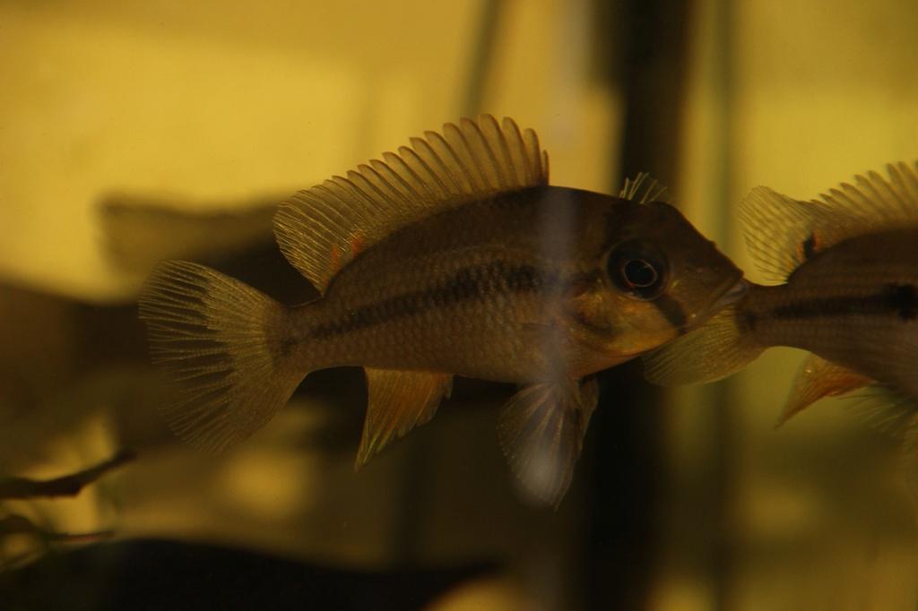 Heterochromis multidens  (Pellegrin, 1900) Img-2073