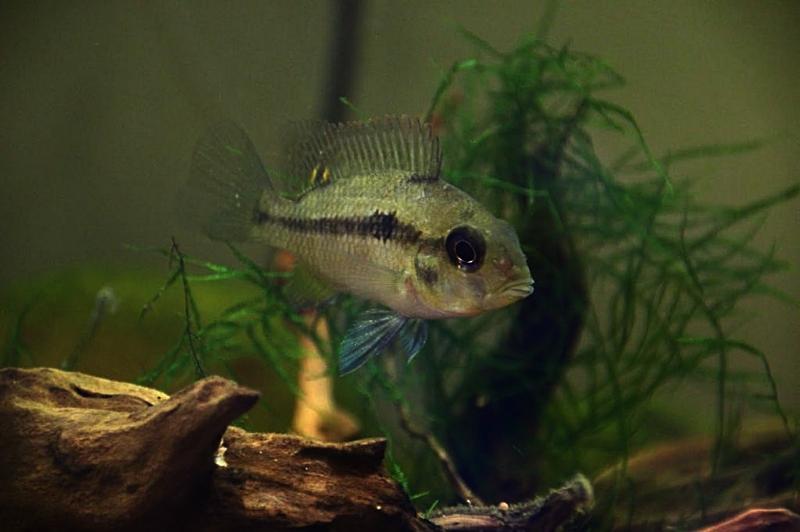 Heterochromis multidens  (Pellegrin, 1900) Unname10