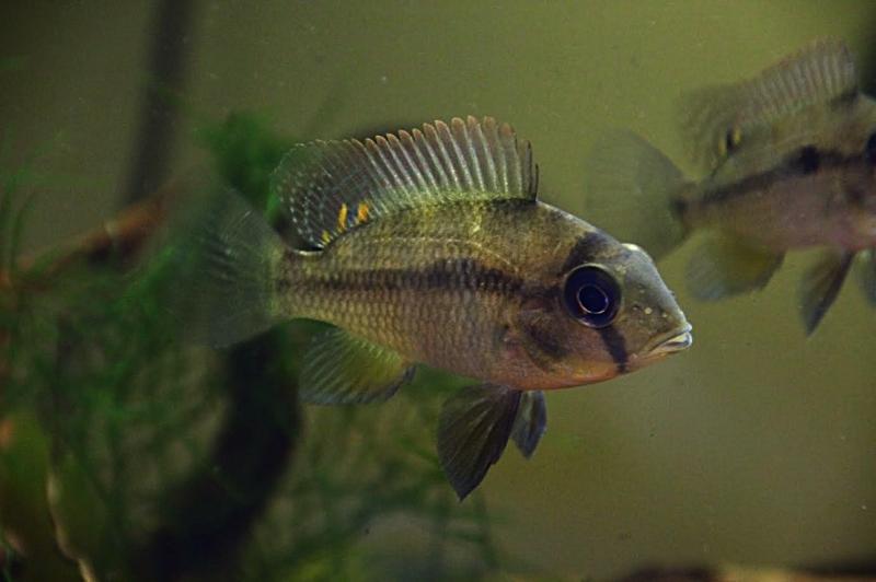 Heterochromis multidens  (Pellegrin, 1900) Unname11