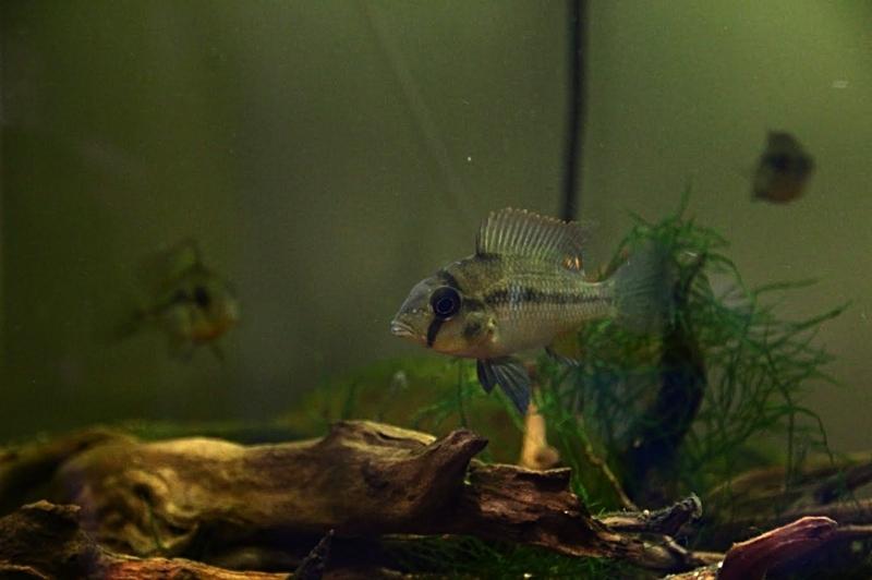 Heterochromis multidens  (Pellegrin, 1900) Unname12