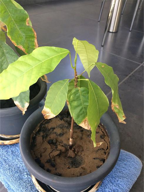 Du Cacao dans les Landes Cacaoy15
