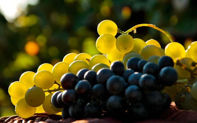 Легенды о винограде Grape110