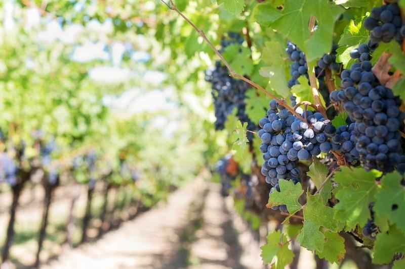 Легенды о винограде L_5e0910