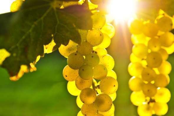 Легенды о винограде Vinogr10