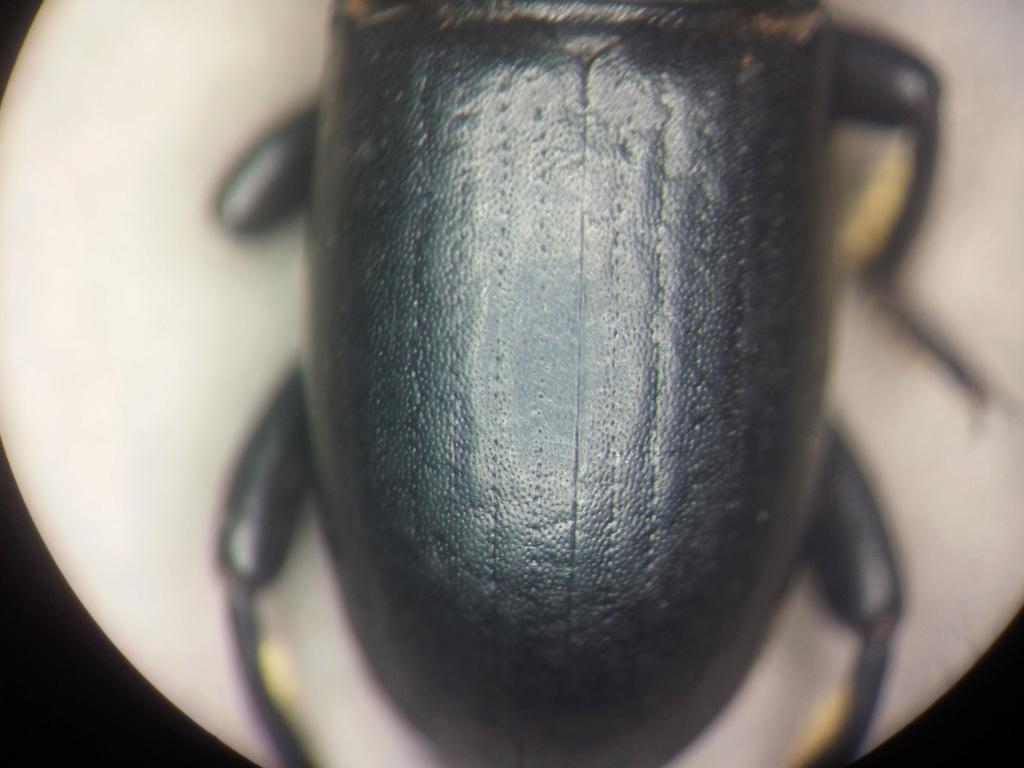 Tenebrionidae en causse 20180934