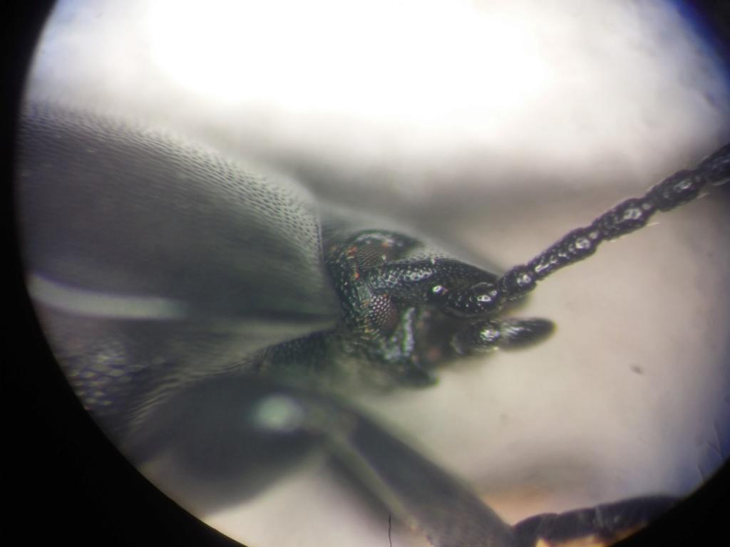 Tenebrionidae en causse 20180935