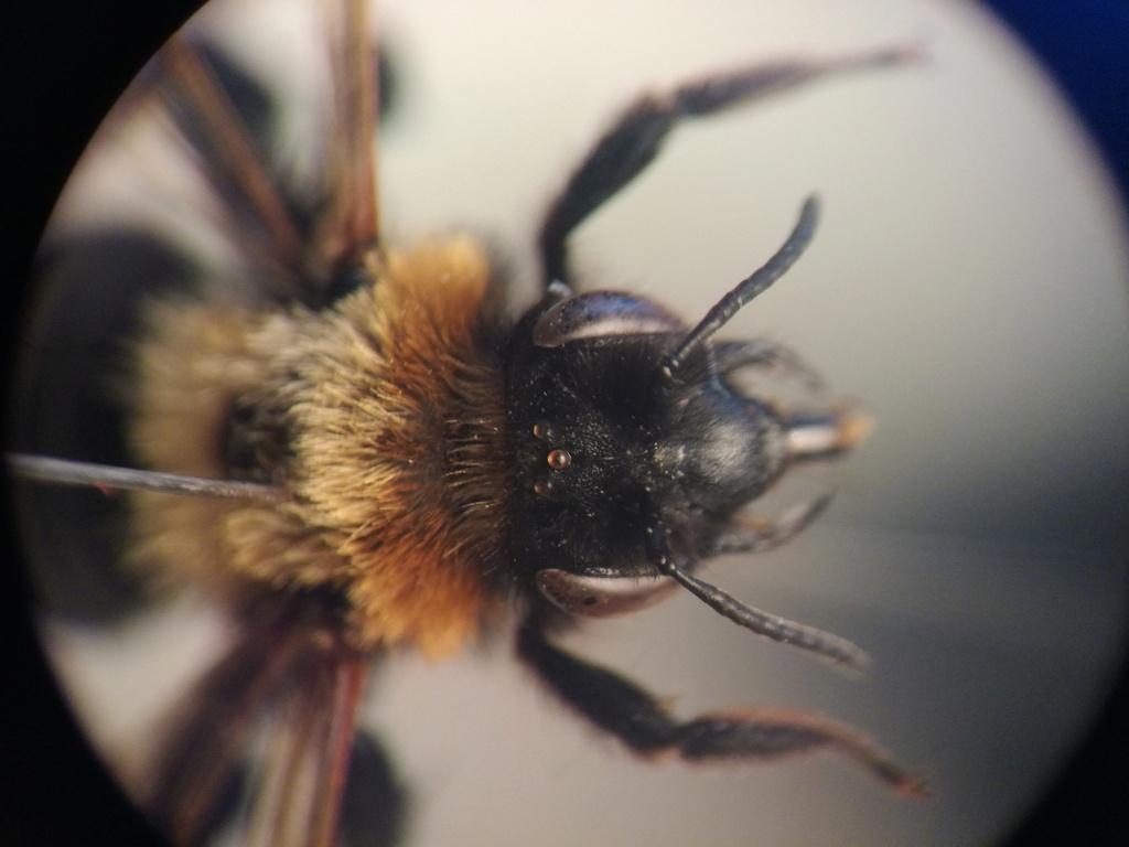 Andrena Img_2016