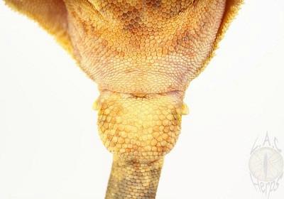 gecko à crete juvenil 82974110