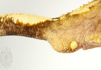 gecko à crete juvenil 82974111