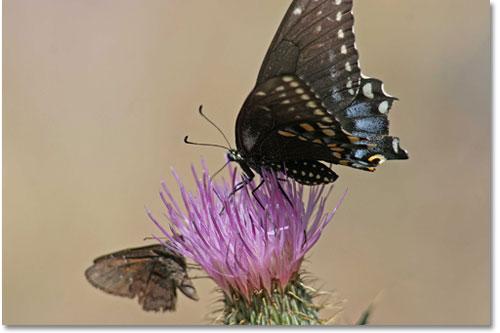 Con ngài và con bướm - Page 2 Buom_n10