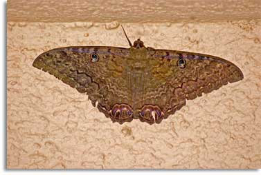 Con ngài và con bướm - Page 2 Buom_n11