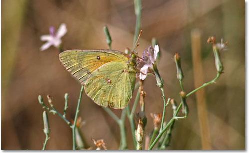 Con ngài và con bướm - Page 2 Buom_n12