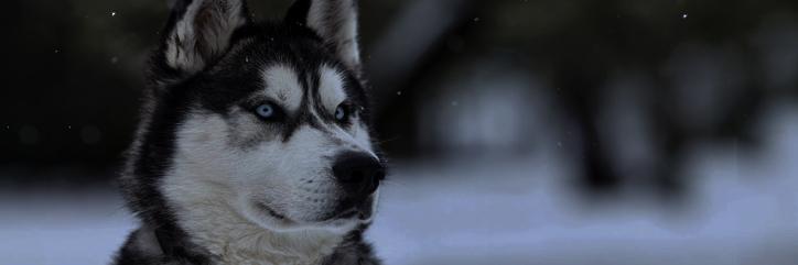 4.-Los perros en Wyrd Husky_10