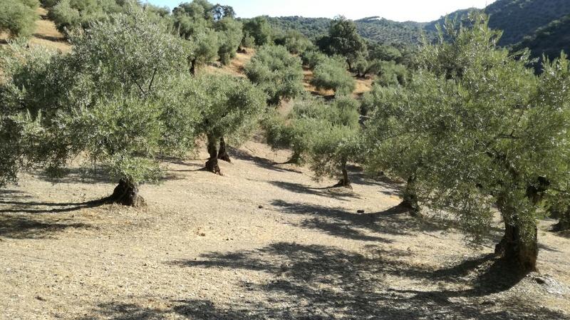 Olivar a finales de verano en Sierra Morena y el alto Guadalquivir - Página 3 061c5710