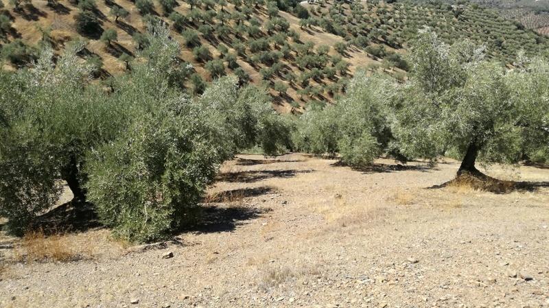 Olivar a finales de verano en Sierra Morena y el alto Guadalquivir - Página 3 1d3aa511